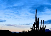 Some cactuses in the Catalina Mountains
